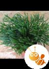 Pálcika kaktusz, Hatiora