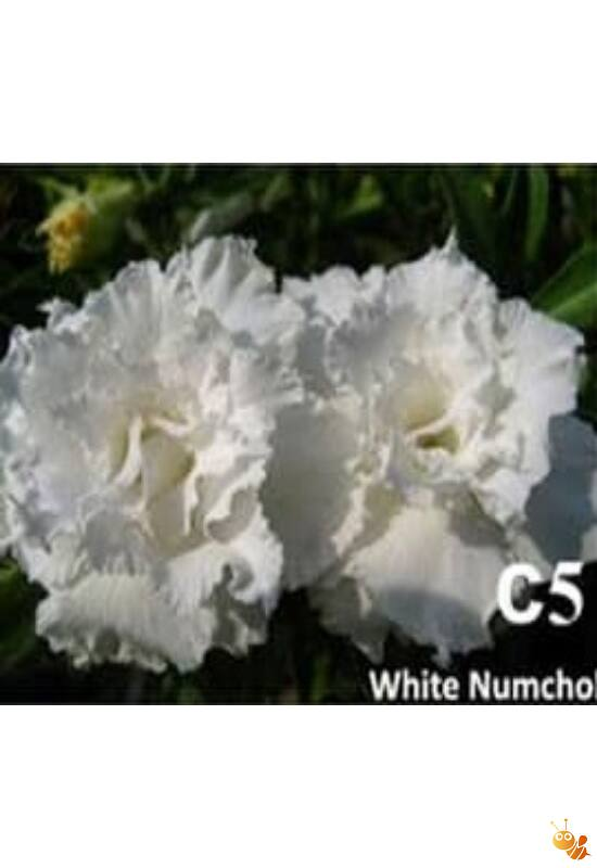 Sivatagi rózsa adenium oltott C5