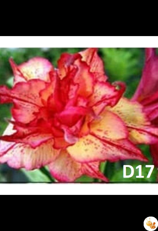 Sivatagi rózsa adenium oltott D17