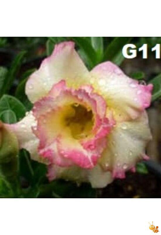 Sivatagi rózsa adenium oltott G11