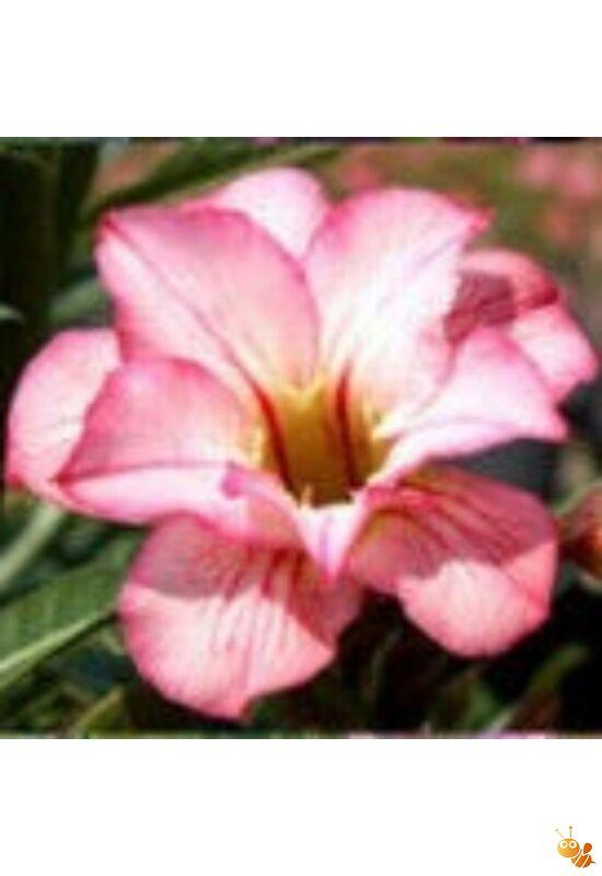 Sivatagi rózsa-Adenium mag Double Lillyput /3db