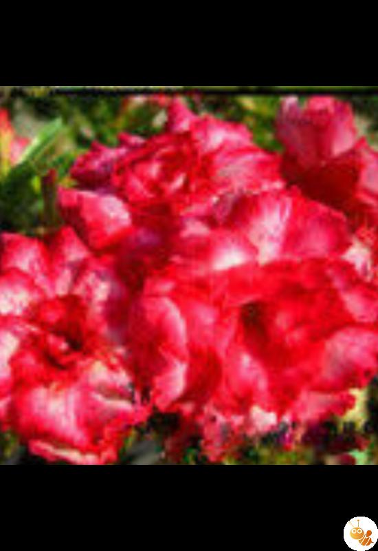 Sivatagi rózsa-Adenium mag  Mario