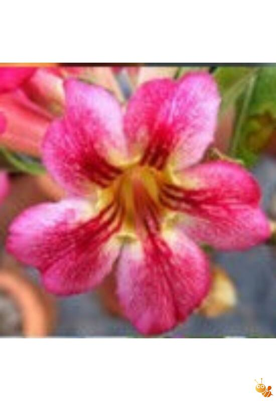 Sivatagi rózsa-Adenium mag Namwan /3db
