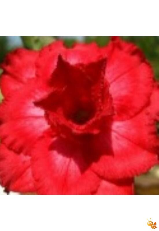 Sivatagi rózsa adenium magonc Shokun