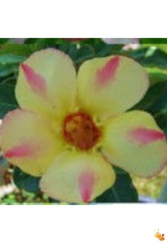 Sivatagi rózsa-Adenium magonc Silk of Yellow