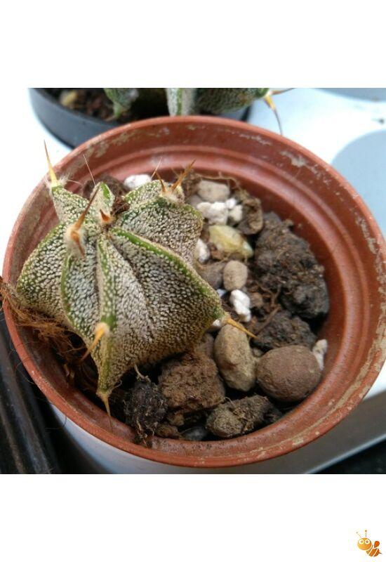 Astrophytum kaktusz tüskés