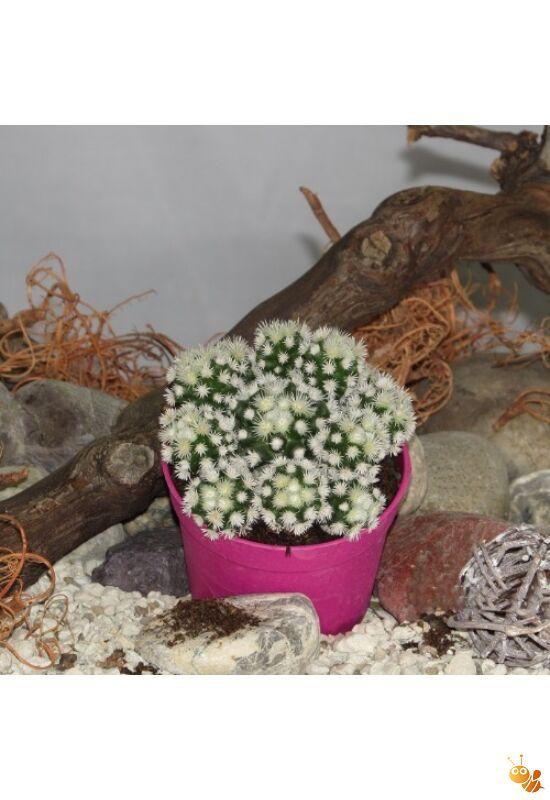 Mammillaria vetula gracilis