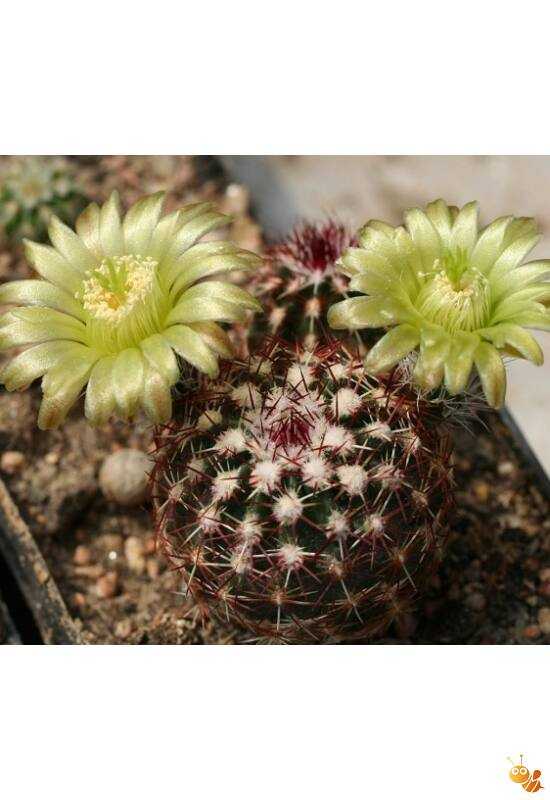 Télálló kiültethető kaktusz Echinocereus viridiflorus