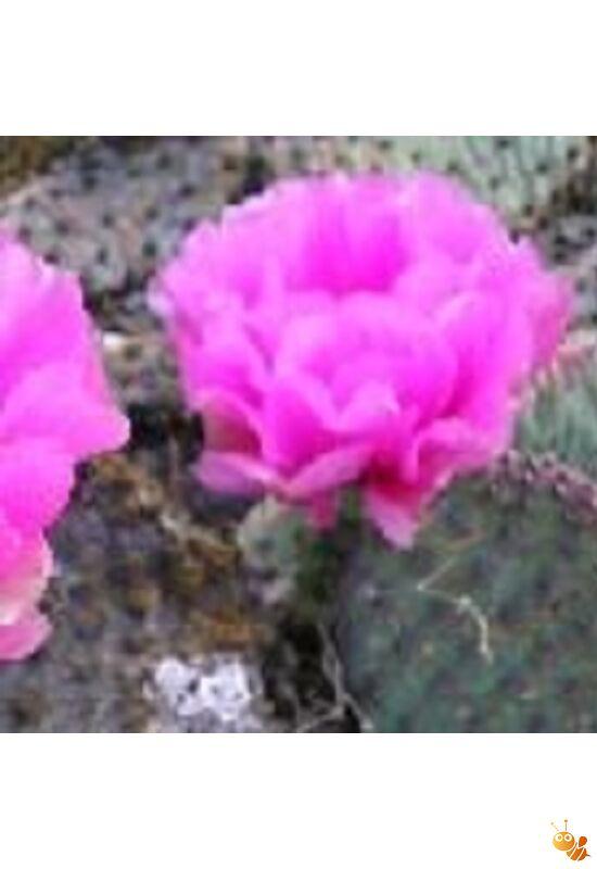 Télálló kiültethető kaktusz Opuntia basilaris