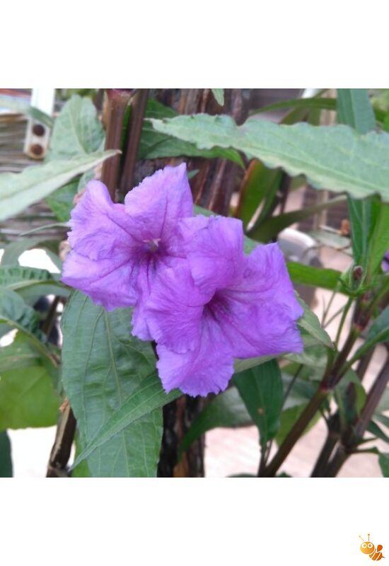Mexikói petúnia kék leander 25-35 cm 3+1