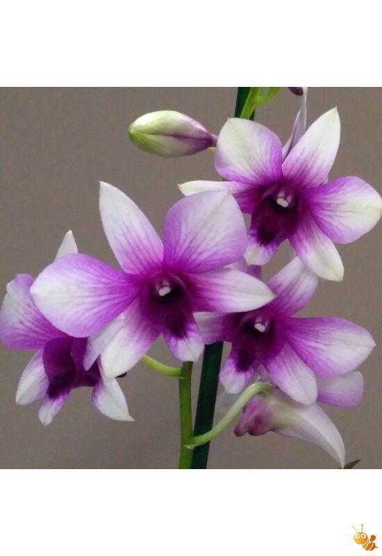Orhidea Dendrobium phalaenopsis /lila-fehér/ Sa Nook, Polar fire