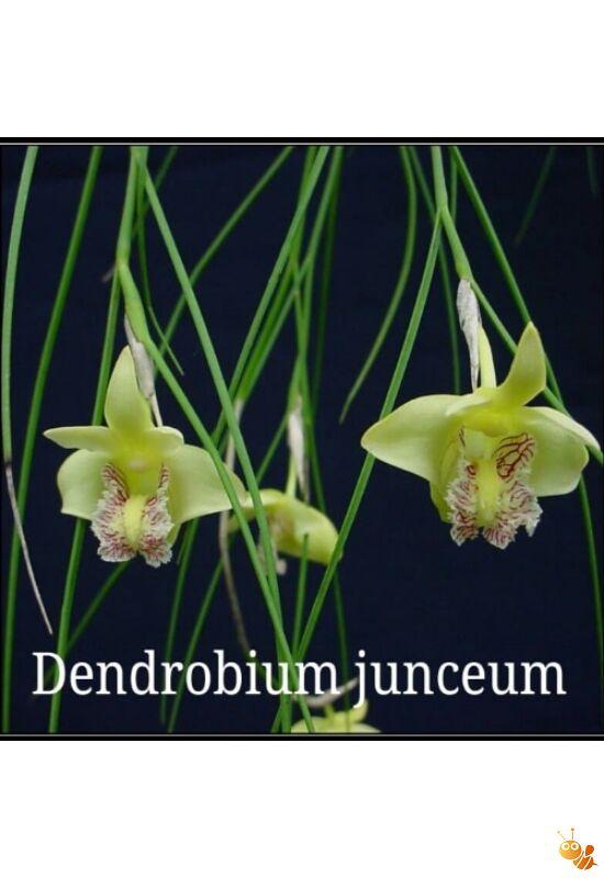 Mini orchidea Dendrobium junceum