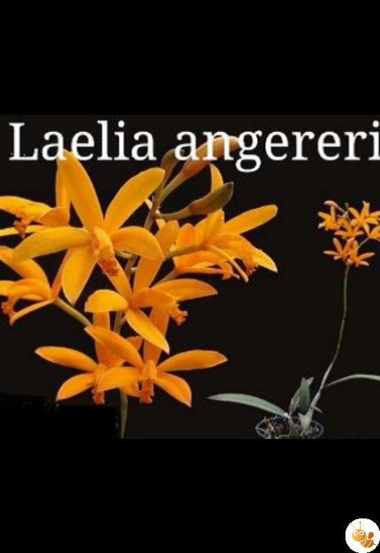 Mini orchidea Laelia angereri