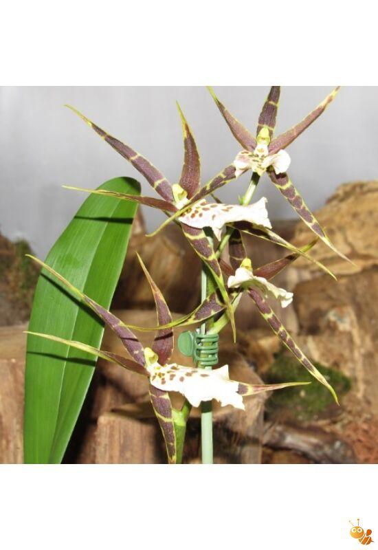 Orchidea Brassia, Pók sárga-barna elvirágzott