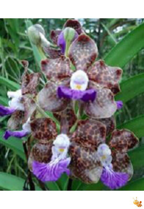 Vanda virágzó méret Papilionanda Paksorn Fragrance min. 20 cm