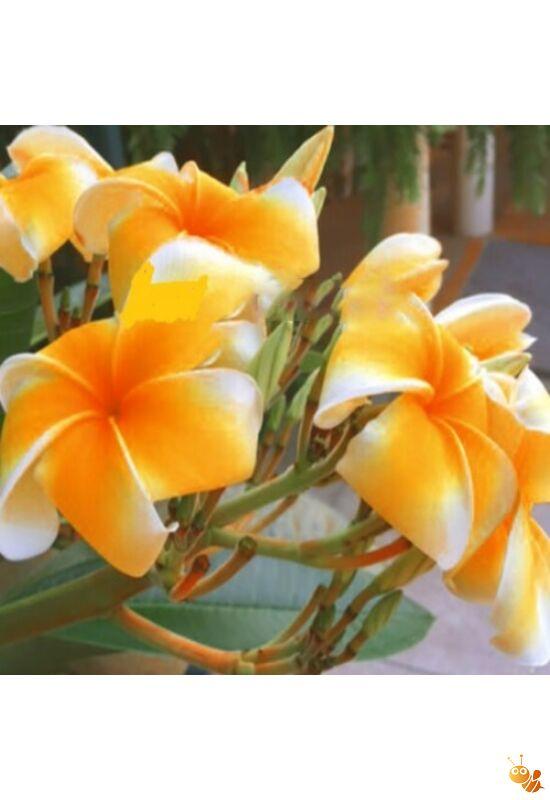 Pluméria frangipáni magonc Somsongsag  10-15 cm