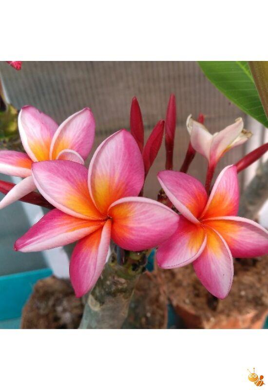 Pluméria Frangipáni rózsaszín