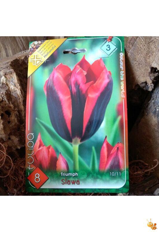 Tulipán hagyma Slava